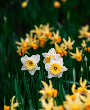 Close up of three white and yellow flowers.